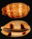 被溺爱的好的壳蜗牛 免版税库存图片