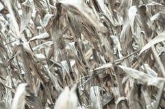 被漂白的玉米 免版税库存照片