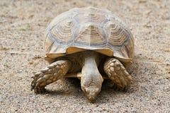 被激励的草龟 免版税库存照片