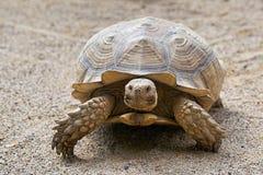 被激励的草龟 库存图片