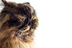 被激怒的猫 图库摄影