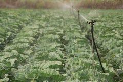 被灌溉的圆白菜领域 免版税库存照片