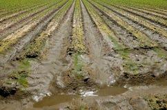 被灌溉的麦地 库存图片
