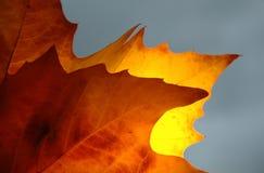 被点燃的回到栗子叶子 免版税库存图片