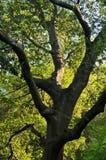 被点燃的橡木日落结构树 库存照片
