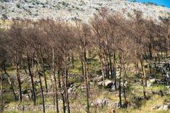 被烧焦的森林 库存图片