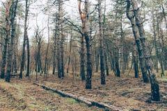 被烧焦的森林 免版税库存照片