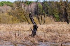 被烧的木头余下在沼泽地 库存照片