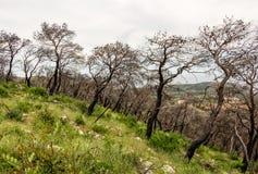 被烧的树在希腊乡下 图库摄影