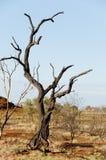 被烧的树-在内地澳大利亚 免版税库存图片