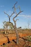 被烧的树-在内地澳大利亚 库存照片