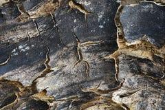 被烧的树破裂的生了酒垢的吠声:在放,有时在颜色,设计师纹理老树的黑色变褐 库存图片