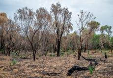 被烧的森林在林区大火以后待在Yanchep国家公园 库存图片