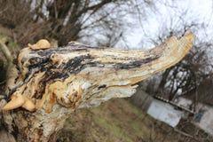 被烧的结构树 纹理 自然 一棵异常的树 库存图片