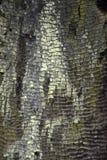 被烧的美国加州红杉背景 免版税库存图片