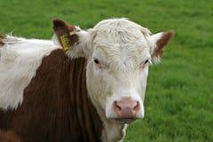 被玷污的棕色母牛 免版税图库摄影