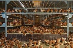 被生动描述的家禽 免版税库存图片