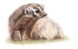 被画的獾 向量例证