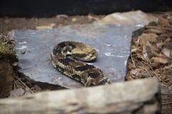 被画的Canebrake响尾蛇  免版税库存图片