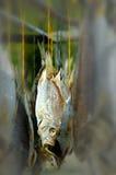 被盐溶的鱼 免版税图库摄影
