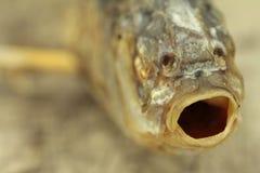 被盐溶的鱼 免版税库存照片