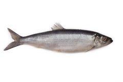 被盐溶的鲱鱼 图库摄影