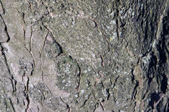 被盖的白桦树皮 免版税库存图片