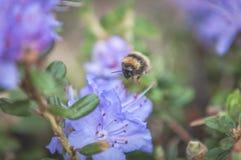 被盖的花粉艰苦弄糟蜂在工作 库存照片