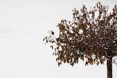 被盖的雪野苹果树用红色果子在背景中在一个多雪的冬天公园 冬天,圣诞节,新年 库存照片