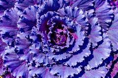 被盖的紫色装饰装饰开花的圆白菜 免版税库存照片