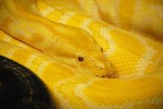 被盘绕的缅甸Python蛇  库存照片