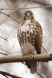 被盯梢的东部鹰红色 免版税库存图片
