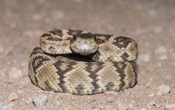 黑被盯梢的响尾蛇 库存图片