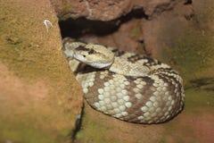 黑被盯梢的响尾蛇 免版税图库摄影
