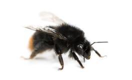 被盯梢的土蜂红色 免版税图库摄影