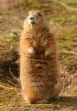 黑被盯梢的大草原土拨鼠-草原犬鼠ludovicianus 免版税图库摄影