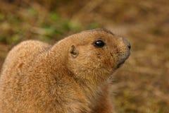 黑被盯梢的大草原土拨鼠-草原犬鼠ludovicianus 免版税库存图片