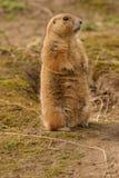 黑被盯梢的大草原土拨鼠-草原犬鼠ludovicianus 库存照片