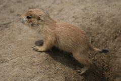 黑被盯梢的大草原土拨鼠-草原犬鼠ludovicianus 免版税库存照片