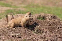 黑被盯梢的大草原土拨鼠(草原犬鼠Ludovicianus) 库存图片