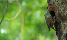 被盯梢的栗子starling 免版税库存照片