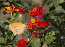 被盯梢的橙色蝴蝶, Pyrisitia proterpia 免版税库存图片
