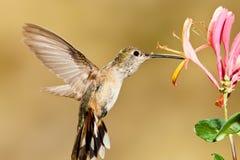 被盯梢的清楚的蜂鸟 图库摄影