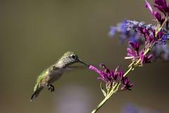 被盯梢的清楚的蜂鸟platycercus selasphorus 免版税图库摄影