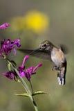 被盯梢的清楚的蜂鸟platycercus selasphorus 免版税库存图片