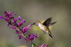 被盯梢的清楚的蜂鸟platycercus selasphorus 免版税库存照片