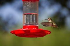 被盯梢的清楚的蜂鸟platycercus selasphorus 图库摄影