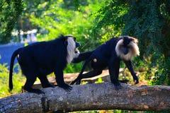 被盯梢的狮子短尾猿 库存照片