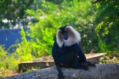 被盯梢的狮子短尾猿 图库摄影
