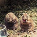 黑被盯梢的草原土拨鼠哺养 免版税库存图片